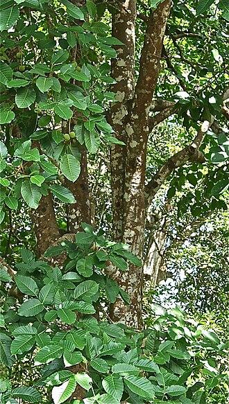 Sandoricum koetjape - Foliage of a mature santol tree in the Philippines