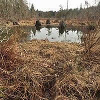 McLane Creek Nature Trail Pond - beaver dam pano 01 (cropped to square).jpg