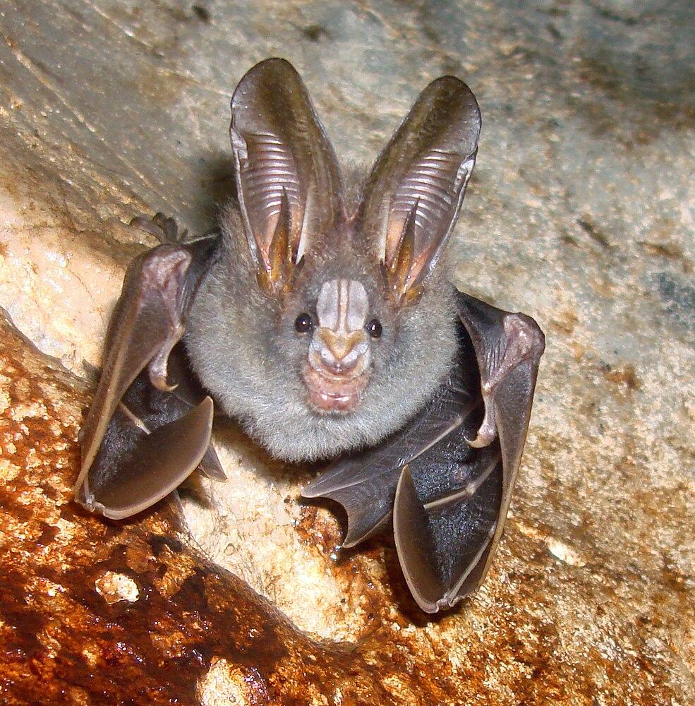 The average litter size of a Lesser false vampire bat is 1