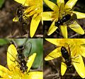 Melangyna lasiophthalma (a melanic female) - Flickr - S. Rae.jpg