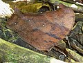 Melanitis leda helena, Krantzkloof Natuurreservaat, a.jpg