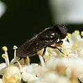 Melanogaster sp. (male) - Flickr - S. Rae.jpg