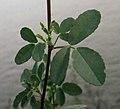 Melilotus indicus leaf (03).jpg