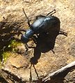 Meloe autumnalis. Meloidae. Coleoptera. Oil Beetle - Flickr - gailhampshire.jpg