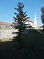 Memorial tree, Saint Mary chapel, 2020 Piliscsaba.jpg