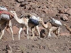 A caravan of dromedaries in Algeria