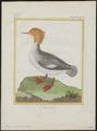 Mergus serrator - 1700-1880 - Print - Iconographia Zoologica - Special Collections University of Amsterdam - UBA01 IZ17700201.tif