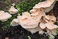 Merulius tremellosus 106034338.jpg