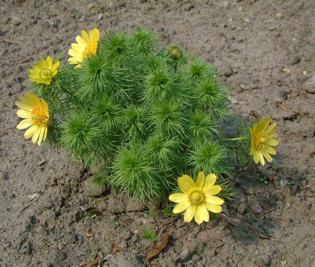 Miłek wiosenny narażony na wyginięcie Rośliny chronione w Polsce