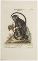 Midas rufimanus - 1700-1880 - Print - Iconographia Zoologica - Special Collections University of Amsterdam - UBA01 IZ20200023.tif