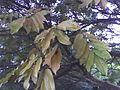 Millettia grandis yellow leaves.JPG