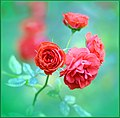Mini Red Roses (197147819).jpeg