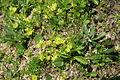 Minuartia sedoides PID1398-4.jpg