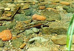 Modoc sucker in spawning colors.jpg