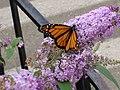 Monarch (Danaus plexippus) (7580719992).jpg
