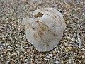 Monia zelandica 62537682.jpg