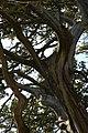 Montolieu - Cyprès Remarquables 6.jpg