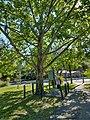 Moon Tree in Keystone Heights Florida.jpg