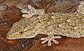 Moorish Gecko (Tarentola mauritanica)(found by Jean NICOLAS) (35266909810).jpg