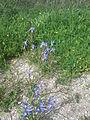 Moraea sisyrinchium in Nahal Tut (3).jpg