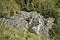 Morning call (Tarsiger johnstoniae at Hehuan Mountain arae) Gen-Chang HSU 026.jpg