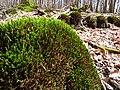Moss on rock in the Taunus.jpg