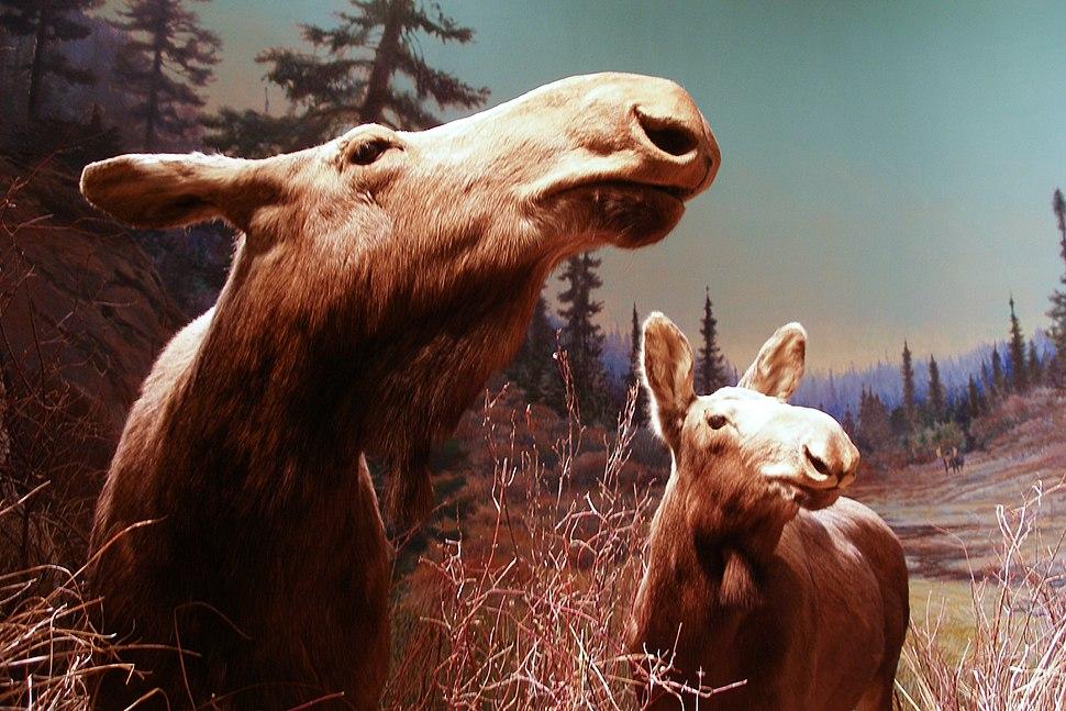 Mother moose and calf diorama - Manitoba Museum (6908025191)