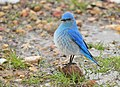 Mountain Bluebird on Seedskadee National Wildlife Refuge (33037736700).jpg