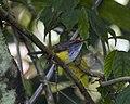 Mountain Tailorbird (Orthotomus cuculatus).jpg