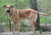 Mountan Laurel Ajax the Chinook dog.jpg