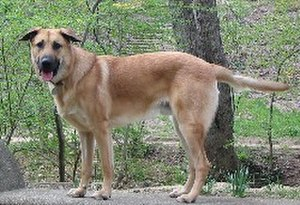 Chinook (dog) - A male Chinook
