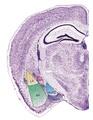 Mouse Amygdala.pdf