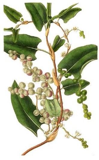 Muehlenbeckia - Muehlenbeckia adpressa