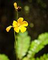 Mukkutti flower from kerala india.jpg