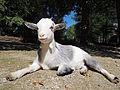 Munchen Zoo - goat 2.jpg