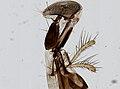 Muscidae (YPM IZ 098905).jpeg