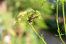 Skull hover fly on parsley flowers