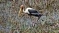 Mycteria leucocephala -Bharatpur Bird Sanctuary -India-8.jpg