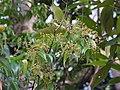 Myrcia sylvatica, purpuna - Flickr - Tarciso Leão (11).jpg