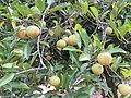 Myristica fragrans - Nutmeg - WikiSangamotsavam 2018, Kottappuram, Kodungalloor (4).jpg