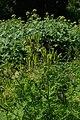 Myrrhis odorata kz01.jpg