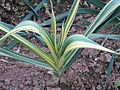 Mystery variegated plant (15235908647).jpg