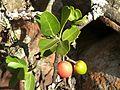 Mystroxylon aethiopicum subsp burkeanum, vrugte, Bronberg, b.jpg
