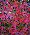 N20151210-0001—Acer palmatum (23879248922).jpg