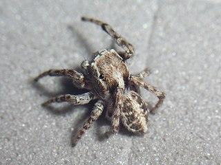<i>Attulus</i> Genus of spiders