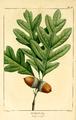 NAS-001f Quercus alba.png