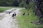 NASA Kennedy Wildlife - Wild Turkeys.jpg