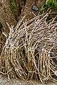 Nakijin Okinawa Japan Sugar-cane-02.jpg