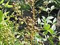 Nandina domestica Heavenly Bamboo 1zz.jpg