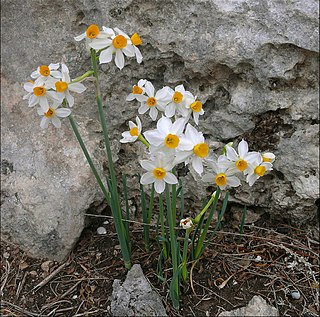 <i>Narcissus tazetta</i> Species of daffodil
